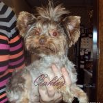 """""""OAKLEY"""" Our AKC Registered Chocolate Yorkie."""